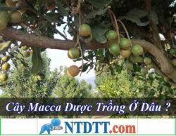 Cây macca có đặc điểm như thế nào được trồng ở đâu ? Hạt macca là gì ?